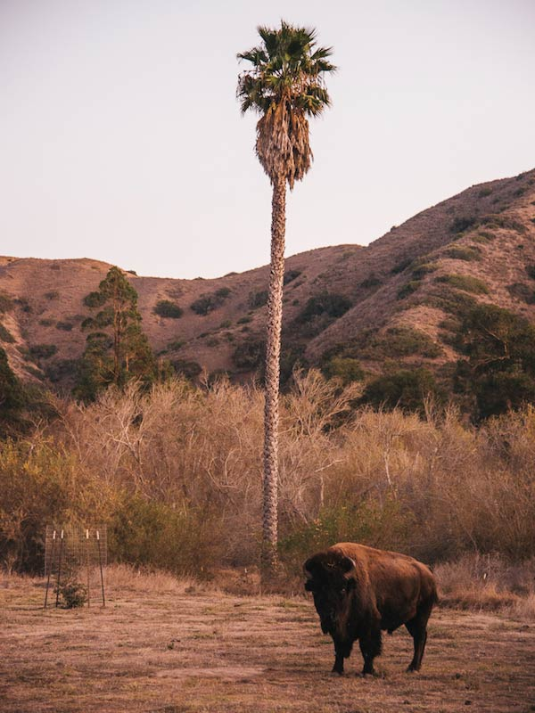 Front view of a bison standing on a brown pasture with a palm tree, thick brush and hills in the background