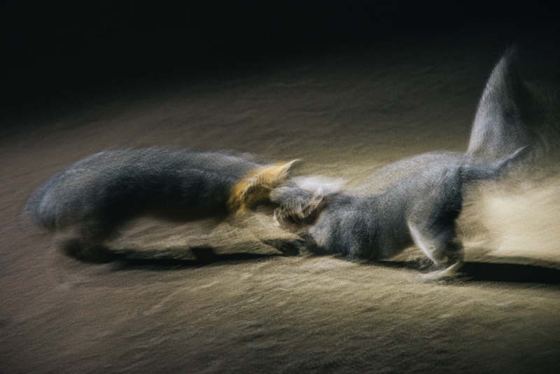 Blurry side view of 2 miniature gray foxes facing each on sand at night