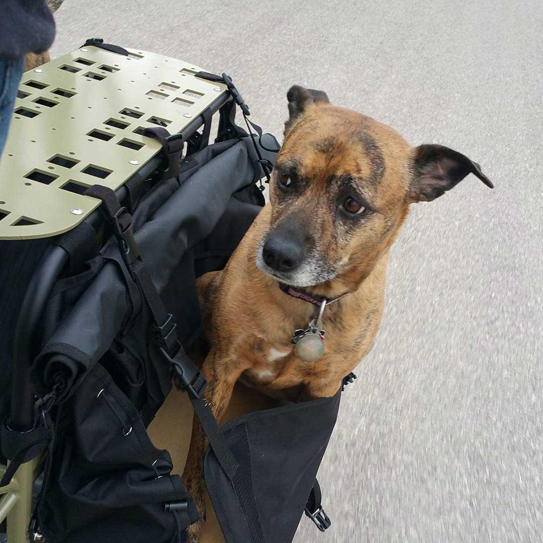 Dog sits in the left rear black saddle bag of a bike