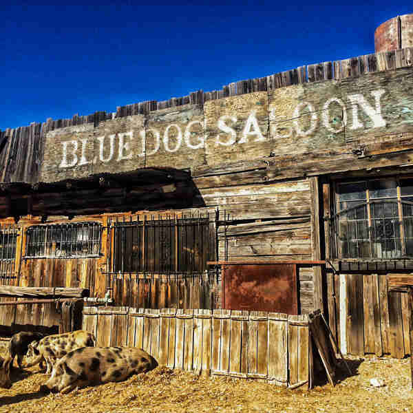 Wood shack with the name Blue Dog Saloon on it, with spotted pigs on the ground in front