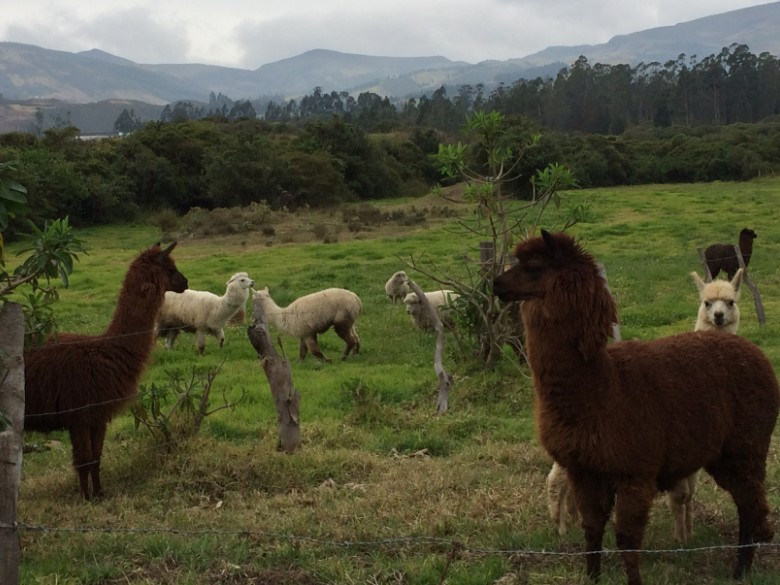 A field with Alpacas in a pasture, with mountains in the background